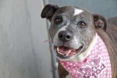 Brooklyn Center SUPER URGENT 4/4/13 ANABELLE - A0961101 FEMALE, BR BRINDLE / WHITE, PIT BULL MIX, 8 yrs  Yet another senior who was found wandering around the streets and brought in to the shelter. This poor baby must not know what hit her and is far too old to be spending her days this way. Please advocate for Annabelle to find her a soft place to lay her head. https://www.facebook.com/photo.php?fbid=593780127301537=a.172404072772480.42595.152876678058553=3=1