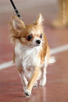 i love long haired chihuahuas...I'm thinking our little girl should def. be a long haired baby.... #chihuahua