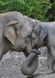 Momma and Baby Elephant Love. Cute Baby Animals, Animals And Pets, Funny Animals, Mother And Baby Animals, Wild Animals, Smiling Animals, Mother And Child, Zoo Animals, Beautiful Creatures