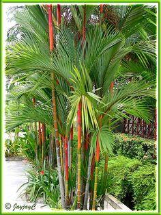 The magestic Cyrtostachys Renda palm.