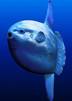 Curiosi di sapere come si chiama questo curioso pesce? Sunfish: non solo per la sua forma, ma anche per le sue dimensioni e per il fatto che durante le giornate di sole tende a salire alla superficie dell'acqua.  #curiosità #sea #animals #fish #mare