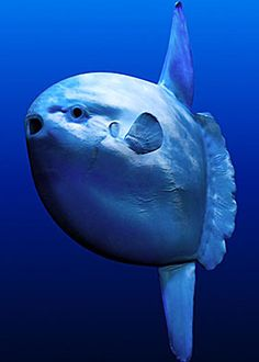 California Sunfish. They used to have one of these at the Monterey Bay Aquarium, it was my favorite thing to see there. It amazed me how something so large and unlovely could move with such amazing grace and fluidity. Such joy!