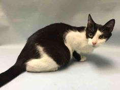 SEGA - A1085041 - - Brooklyn  ***TO BE DESTROYED 08/21/16: ***ONE COOL CAT-Meet Sega, a 1 year old girl with LOADS of personality!!! This girl entered the ACC as a stray but as soon as she walked out of the carrier she was brought in, she made the place her own. She likes to chirp and purr when she is being pet, she is affectionate, outgoing and friendly. There are not enough positive adjectives in the English dictionary to describe this girl. Oh, her one fault? She is not