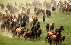 July 24, 2011- Horses in Chifeng, Inner Mongolia Autonomous Region. According to the Chinese lunar calendar, the upcoming lunar new year is the year of horse, which stands for strength, loyalty, boldness and vigorousness