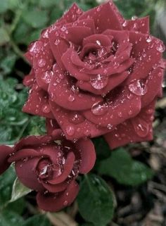Superb Black Plants And Flowers That Add Drama For An Awesome Black Garden – lmolnar – Besondere Blumen Beautiful Rose Flowers, Flowers Nature, Exotic Flowers, Amazing Flowers, Beautiful Gardens, Beautiful Flowers, Rose Flower Photos, Flower Art, Rare Roses
