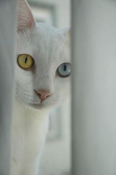 So awesome. Heterochromia in cats.