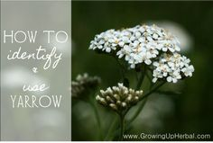 yarrow, put it in your coffee grinder, quickly grind it into powder, and put the powder down into the cut. This helps to tighten the tissues (remember that astringent affect) and stop the bleeding. Wh