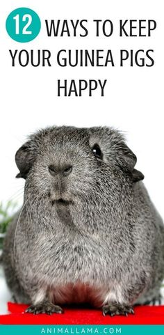 Every responsible pet parent wants their pet to be happy and content. Learn how to keep your guinea pigs happy and satisfied and take a look at these 12 ways to make your guinea pigs happy! #guineapigs #cavies #pets #petcare #guineapigcare