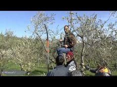 Calitri:Corso di potatura dell'ulivo; prima puntata (seconda parte).