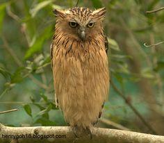 Buffy Fish Owl - ketupa ketupu ~