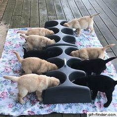 When Labrador puppies are involved, feeding time is a free-for-all Funny Dog Faces, Funny Dog Videos, Cute Funny Animals, Funny Animal Pictures, Funny Dogs, Amor Animal, Mundo Animal, Animals And Pets, Baby Animals