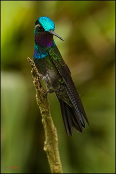 Purple-throated Mountain-gem, Cinchona, Costa Rica