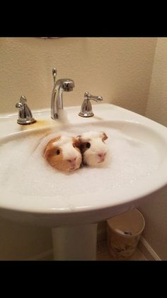 Guinea pigs taking a bath : aww