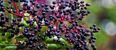 Crush the leaves of an Elderberry bush and put it on your skin.  Mosquitoes don't like it!
