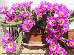 Maale Adumim, Israel - Gardens, 06 neighborhood (צמח השדה), cactus