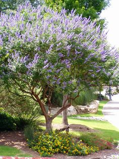 I have this tree in my front yard...i absolutely love it..just have to trim the bottom branches out as it grows because it will grow down like a bush if you dont. Texas Lilac (Vitex). They are hardy, drought tolerant, and the butterflies & bees love them.