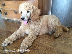 Poodle Puppies For Sale, Baby Puppies, Baby Dogs, Pet Dogs, Dog Cat, Pets, Weiner Dogs, Doggies, Apricot Standard Poodle