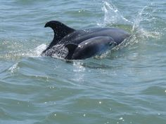 A new baby dolphin has been born among the famous bottlenose dolphins that live in the Sado Estuary. Baby Dolphins, Ocean Pollution, Bottlenose Dolphin, Mammals, Whale, New Baby Products, Places To Go, News, Whales