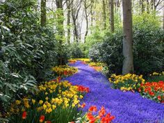 The lovely effect of this planting uses blue to create the look of a river amongst tulips and daffodils.