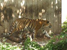 Tigers, 3 - http://www.1pic4u.com/blog/2014/11/27/tigers-3-2/