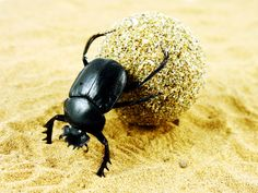 The dung beetle doesn't just eat poo—the males roll it into balls to woo the ladies, which in turn use it as a home for their young.
