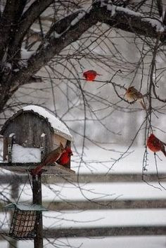 Beautiful Cardinal birds in winter