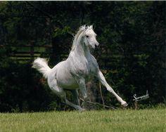 On our farm in central Texas, lives this elegant Egyptian Arabian mare, Miss Maggie Mae. Arabians Ltd.