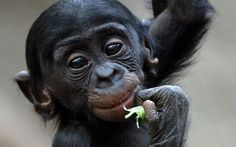 Baby bonobos are smiling at the camera  \\ Zoo Leipzig, Germany.