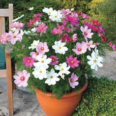 Cosmos 'Sonata Hot Pink Mixed' - 40 plus 20 FREE plug plants - Cosmos & Hot Pink Mixed& – Large, daisy-like flowerheads, that come in an array - Easy To Grow Flowers, Growing Flowers, Pretty Flowers, Planting Flowers, Container Flowers, Container Plants, Container Gardening, Cosmos Flowers, Cosmos Plant
