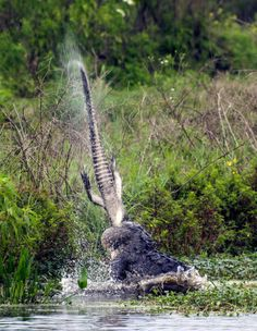 A large alligator throws the remains of an alligator carcass into the air in Lakeland, Florida. They're one of the deadliest creatures in the water - and this alligator showed why as it tore apart another of its kind. The toothy predator was seen slamming the smaller alligator into the water and ripping it in two. Amateur photographer Neil Furlong captured the astonishing photographs at the Circle B Bar Reserve in Lakeland, Florida.