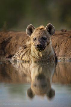 """beautiful-wildlife: """"Morning Dip by Paul Runze Hyena, Botswana """" Nature Animals, Animals And Pets, Cute Animals, Wild Animals, Beautiful Creatures, Animals Beautiful, Hello Beautiful, Brown Hyena, Striped Hyena"""