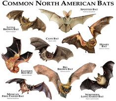 Fine art illustration of various species of bat native to North America Species featured: BIG BROWN Bat Species, Fruit Bat, Tropical Forest, Vampire, Animals Of The World, Wildlife Art, Mammals, North America, Central America