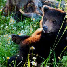 Baby bear .... Casey Anderson's refuge in Montana