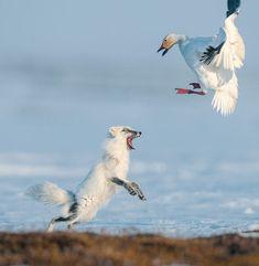Arctic fox driving snow goose off nest. Wrangel Island. Photo by Sergey Gorshkov