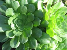 "Aeonium 'Mint Saucer'--each roset is about 6""+ wide. For in front of boulder/coprosma"