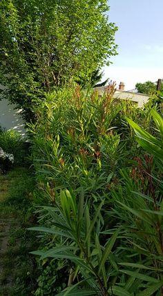 Leander gondozás évtizedes tapasztalatai első kézből – Balkonada Herbs, Plants, Gardening, Lawn And Garden, Herb, Plant, Planets, Horticulture, Medicinal Plants