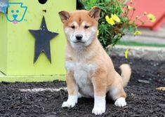 Layla   Shiba Inu Puppy For Sale   Keystone Puppies Dogs For Sale, Shiba Inu, Corgi, Best Friends, Funny, Animals, Beat Friends, Corgis, Bestfriends