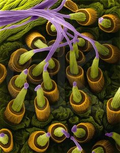 A scanning electron microscope image of spider silk glands making a thread.