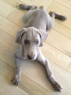 Weimaraner puppy (little frog)