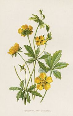 Antique Botanical Print, yellow flower
