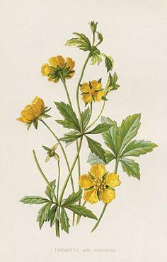 Antique Botanical Print, yellow flower