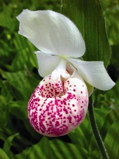 Cypripedium 'Ulla Silkens' flower also known as Ulla Silkens Ladyslipper Orchid