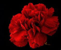 "Red Carnation - Deep romantic love, passion, ""My heart aches for you,"""