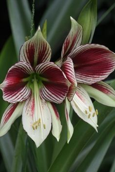 Hippeastrum Papilio.  Butterfly Amaryllis need no dormant time.  Mine have bloomed, just once a year, for over 20 years.  It likes to be pot-bound.
