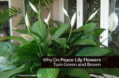 Why Do Peace Lily Flowers Turn Green and Brown