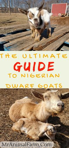 Nigerian Dwarf Goats - The Ultimate Guide to All You Need to Know! Nigerian Dwarf goats are an awesome goat breed. If you are new to raising goats or just want to know more about Nigerian Dwarf Goats, find out more here. Raising Farm Animals, Raising Goats, Mini Goats, Baby Goats, Goat Playground, Goat Shelter, Feeding Goats, Goat Pen, Nigerian Dwarf Goats