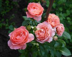 'Pink Abundance' floribunda