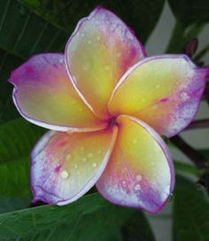 Home Garden Frangipani mixed color Plumeria rubra Flower Plantas Decoration Romance Egg Flowers bonsai plant home garden Exotic Plants, Exotic Flowers, Tropical Flowers, Amazing Flowers, Flowers In Hair, Beautiful Flowers, Exotic Flower Tattoos, Floral Tattoos, Rare Flowers