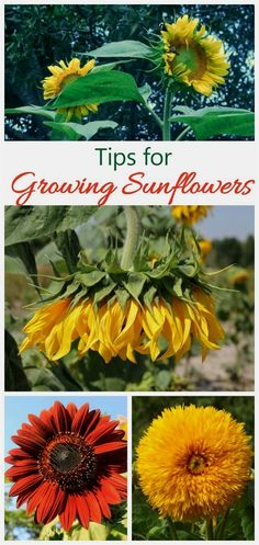 Growing sunflowers is a fun way to introduce children to gardening. The seeds are large and grow easily. See tips for growing these garden beauties on The Gardening Cook. #GardeningIdeas