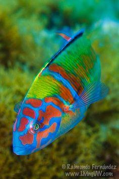 Underwater world - Onder water wereld Underwater Creatures, Underwater Life, Ocean Creatures, Beautiful Sea Creatures, Animals Beautiful, Colorful Fish, Tropical Fish, Poisson Mandarin, Beneath The Sea